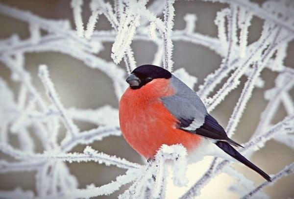 стихи про снегиря